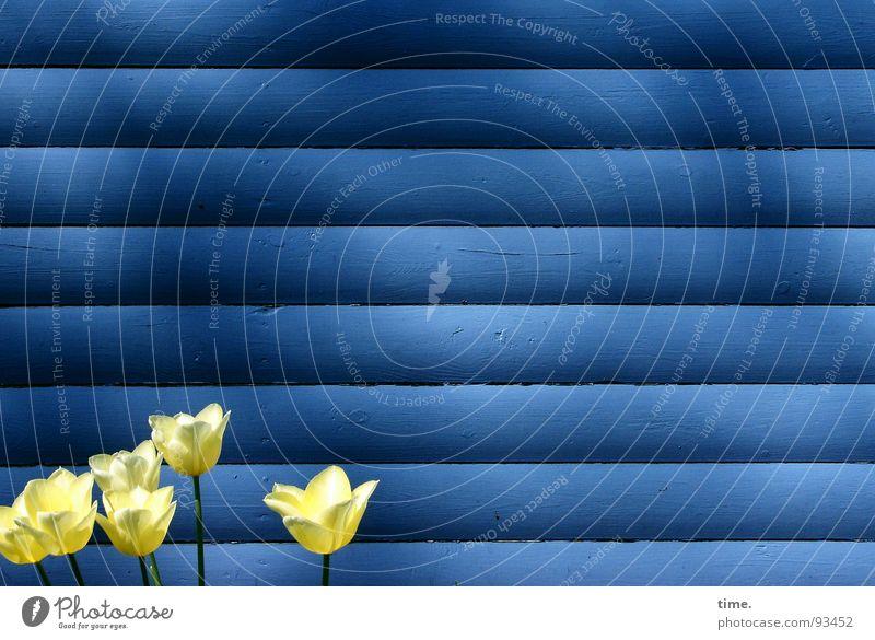 Rumstehen vor Bretterwand Wand Tulpe gelb horizontal 6 Licht Frühling klein blau Schatten Kontrast Farbe