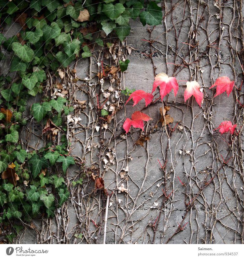 komplementäre Jahreszeit Natur Herbst Pflanze Blatt Mauer Wand Fassade grün rot Komplementärfarbe Efeu Beton Jahreszeiten Farbfoto mehrfarbig Außenaufnahme Tag