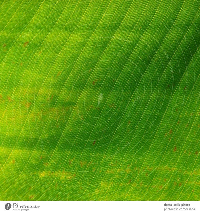 Bananenblatt Natur grün Sommer Blatt Linie Gefäße Südamerika Zimmerpflanze Blattgrün durchscheinend