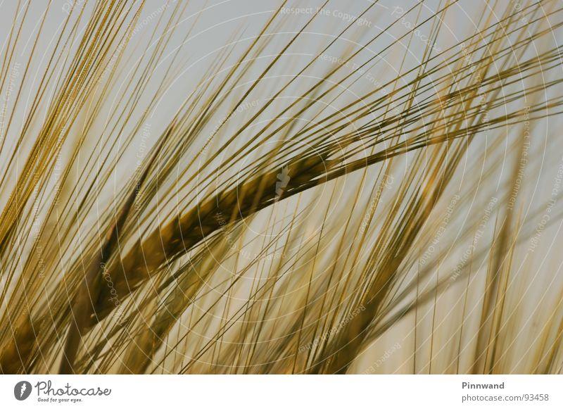 weizenliebe Himmel grün Pflanze gelb Haare & Frisuren braun frisch Fröhlichkeit Getreide Korn Weizen Stroh strohig Müsli