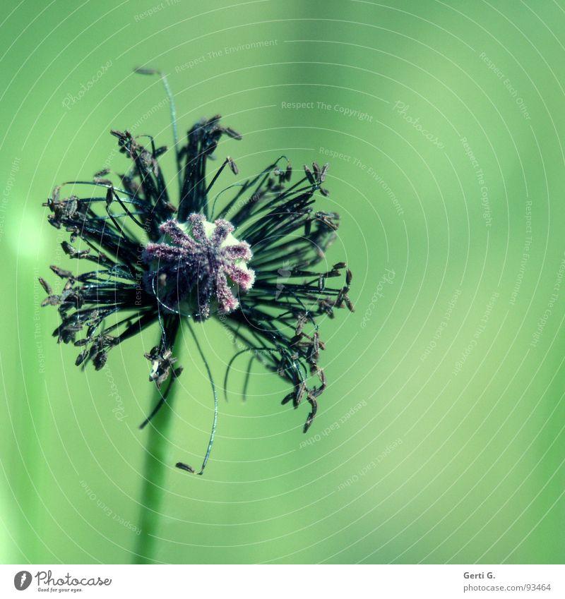 Bella grün schwarz dunkel Wildtier zart verfallen dünn Mohn Stengel Blütenknospen Samen Nähgarn fein filigran welk entfalten