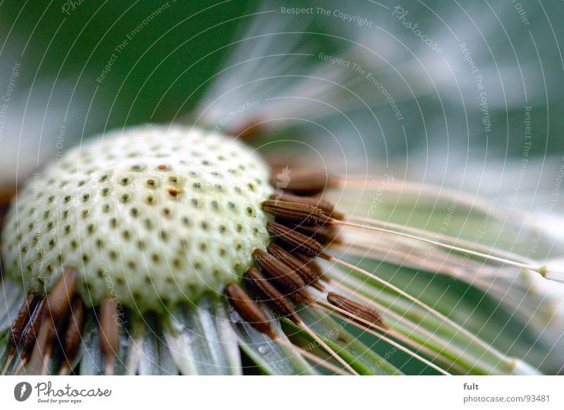 pusteblume Löwenzahn leer verweht Blume Loch Pore Pflanze Makroaufnahme Nahaufnahme Natur
