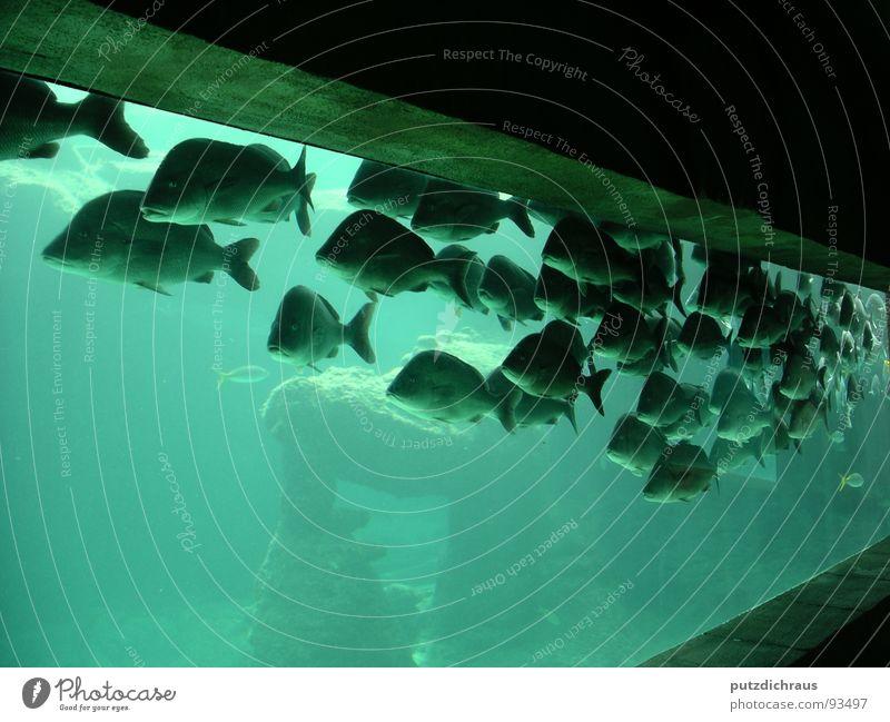 green fish Wasser Meer grün blau See Fisch Aquarium Schwarm Meerwasser