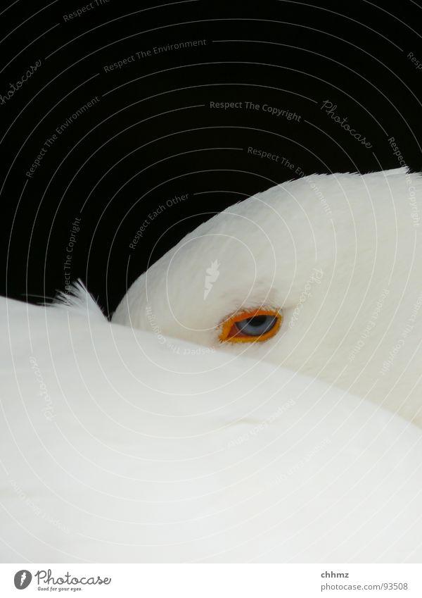 pass bloß auf Gans Schnabel Neugier gefährlich Froschperspektive Daunen Wachsamkeit Blick weiß Vogel Hals Feder Knopfaugen. schläfrig Müdigkeit Auge