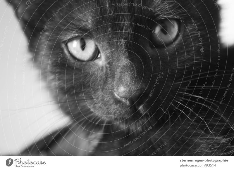 meow. Tier Katze Säugetier Hauskatze Katzenauge