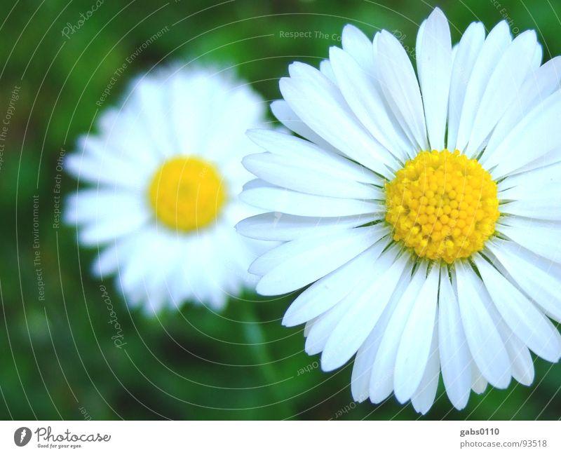 gänseblümchen Natur Blume grün Sommer gelb Wiese Blüte Garten Rasen Blühend Gänseblümchen Pollen Makroaufnahme