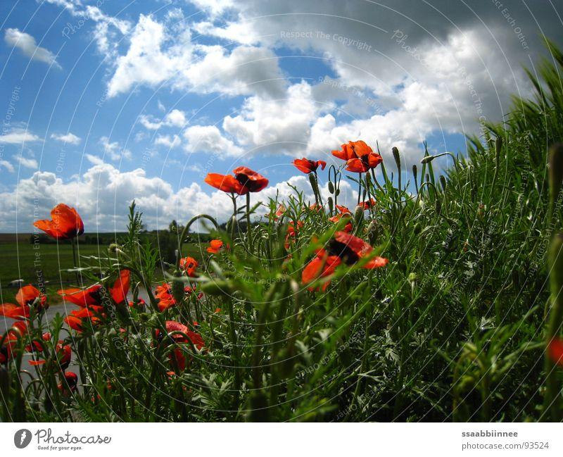 KopfHoch Frühling himmelblau Gute Laune Wochenende nach dem Regen Mohnrot Wolkentreiben Frühlingssonnentag Natur