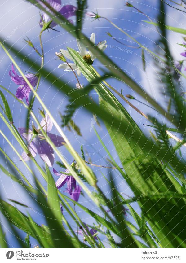Von unten nach oben Blume Gras Wiese Wolken Sommer frisch grün violett Himmel Wind blau Natur Perspektive