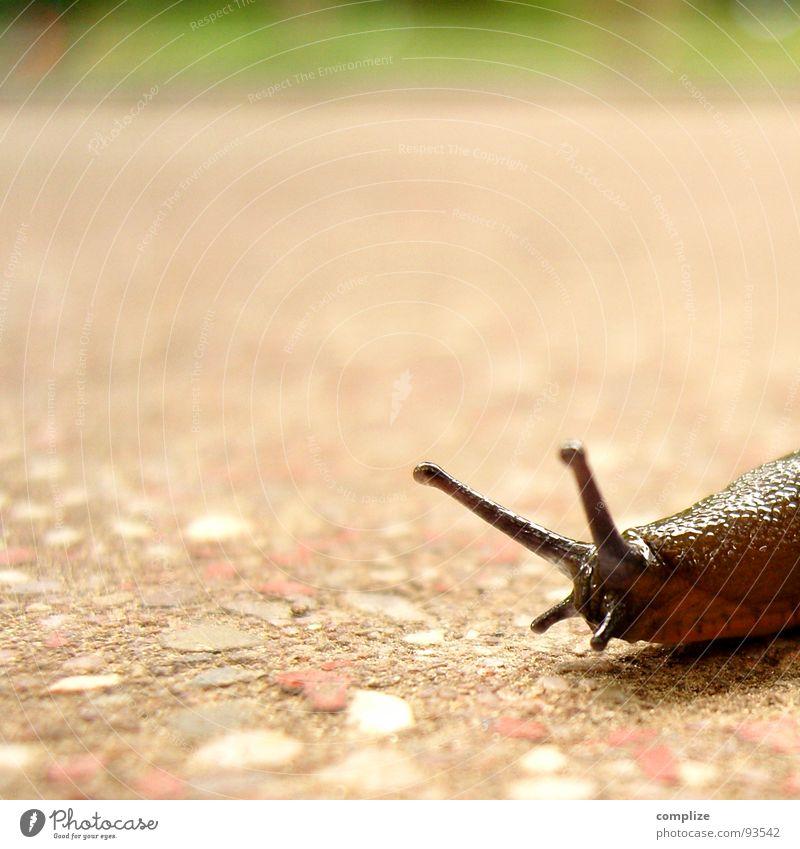 Nackte Schnecke oder Nacktschnecke Zeitlupe Nacktschnecken braun Geschwindigkeit Fühler Schleim Schleimer Tier langsam gähnen schlafen wandern