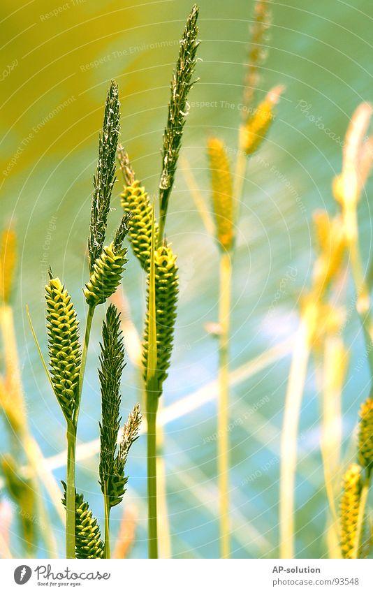 Ufergras Natur blau grün schön Pflanze Sommer Blume gelb Wiese Gras Frühling Garten Blüte Wachstum Schönes Wetter Seeufer