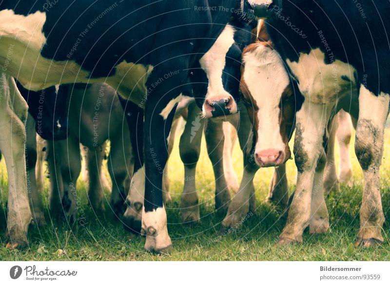 Muuhhh Landwirtschaft Forstwirtschaft Tier Wiese Kuh grün schwarz weiß Kalb Ochse Säugetier Weide cow cows animal animals meadow Farbfoto Gedeckte Farben