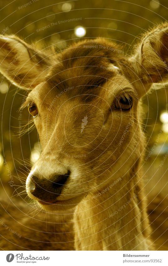 Achtung Wild!  II Tier braun Wildtier Säugetier hart Hirsche Schnauze Reh Sepia