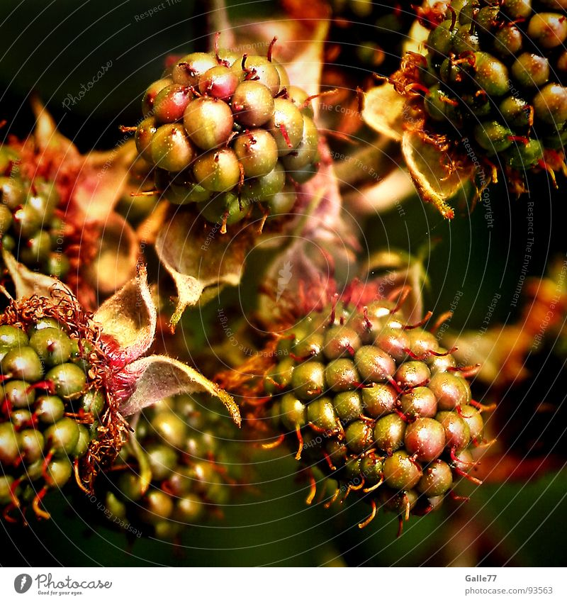leckeres Früchtchen grün rot Sommer süß lecker Trieb fruchtig Kletterpflanzen unreif Brombeeren