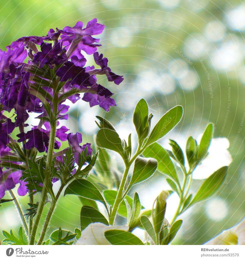 lilagrün im einklang violett Blume Pflanze Beet Wachstum gedeihen Blüte schön Terrasse Frühling Garten Park verbenen Natur Blühend Schatten xxee