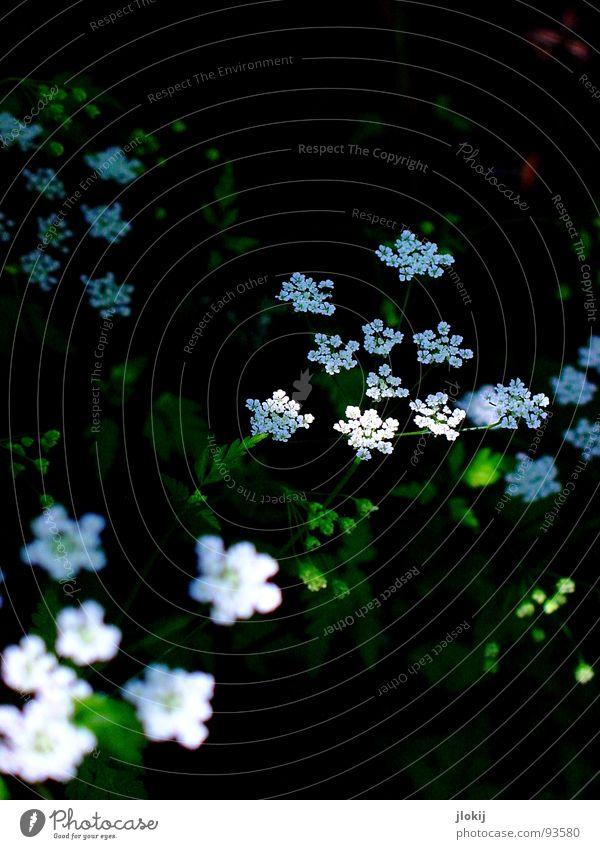Stars und Sternchen weiß Pflanze Blüte Wiese Blühend Wachstum dunkel Sonnenlicht Sonnenstrahlen grün Stern (Symbol) Natur verblüht Kontrast Schatten