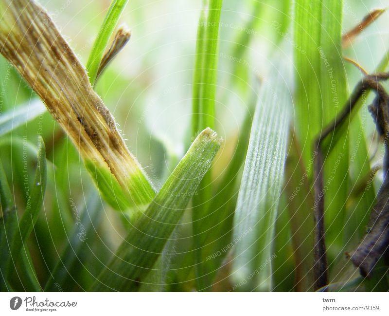 Grasgeflüster grün Frühling Rasen Makroaufnahme Natur