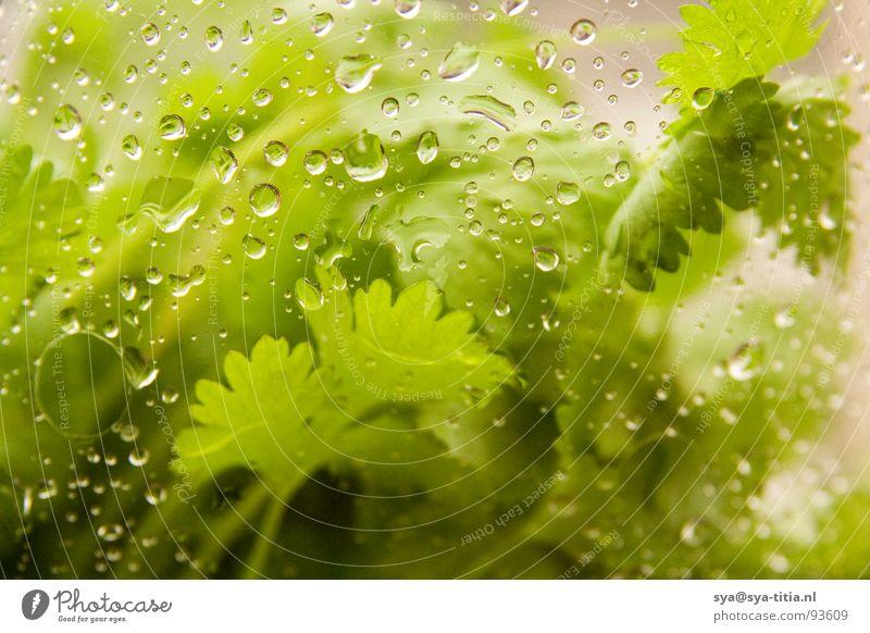 koreander mit tropfen Koriander springen grun Wasser drop water grun. Tropfen