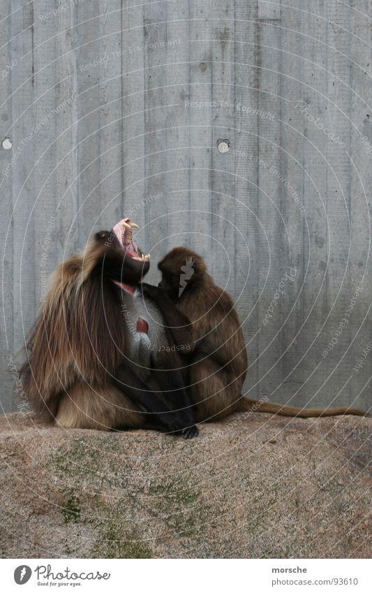 Mit Leib und Seele Holz grau Stein braun offen Gebiss schreien Fell Zoo Säugetier Affen Reißzahn