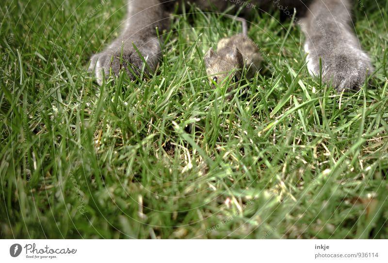 ...manchmal grausam. Frühling Sommer Gras Garten Park Wiese Haustier Wildtier Katze Maus Tiergesicht Pfote 2 Jagd krabbeln Blick warten authentisch Gefühle