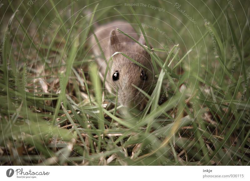 die Wahrheit ist.... Natur Frühling Sommer Herbst Gras Garten Park Wiese Tier Wildtier Maus Tiergesicht 1 krabbeln Blick klein nah Neugier niedlich Interesse