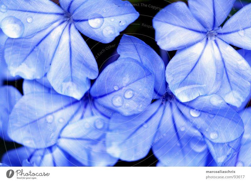morgentau Tau Blume Blüte Wassertropfen Frühling blau Natur