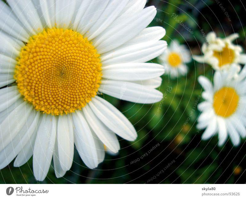 Frühlingsbote Margerite Blume Pflanze Blüte Pollen Wiese Blumenwiese Wiesenblume Gras Mai Juni Juli Sommer Wachstum Botanik Natur Garten blühend Bioprodukte