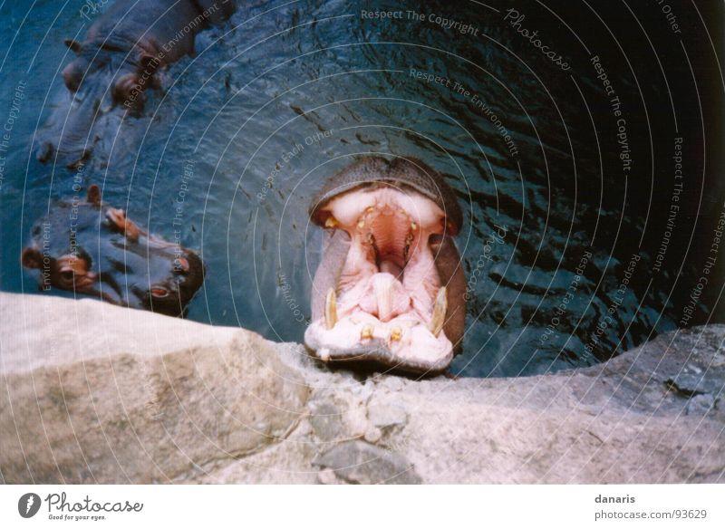 Gähn, bin ich müde... Ernährung Tier Erholung Fluss Müdigkeit Säugetier Flußpferd