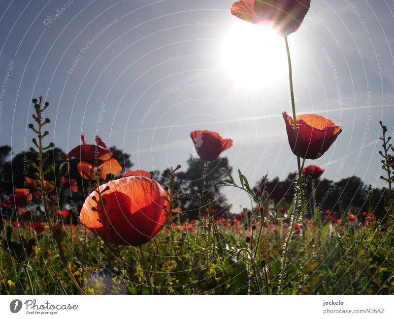 Schlafes Mohn Freude Sommer Sonne Wärme Gras Blüte Wiese Feld rot Klatschmohn Physik Mallorca Spanien Schlafmohn Sunny Easy Opium jomam Farbfoto Außenaufnahme