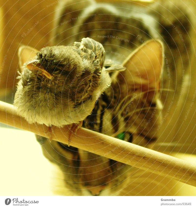 """""""Ich scheiß ihm auf die Nase und dann fliege ich schnell weg .."""" Katze Vogel Gewalt Appetit & Hunger lecker Spatz Unbekümmertheit Mörder"""