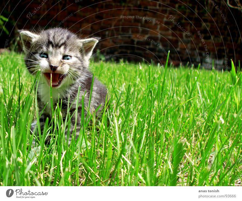 miau Freude Einsamkeit sprechen Spielen Gras Garten Katze klein süß Rasen niedlich Halm Säugetier verloren Haustier unschuldig