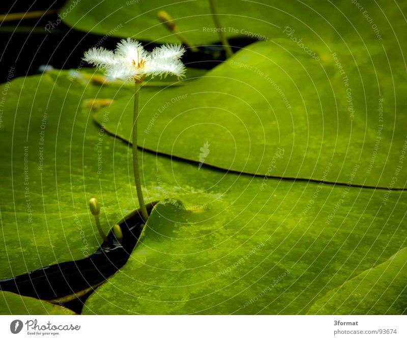 seerose02 Seerosen Blume Blüte Rose Pflanze Teich dunkel schwarz grün Reflexion & Spiegelung Samt samtig Teppich feucht kalt Morgen einzeln Einsamkeit