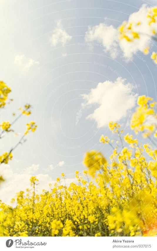 Der Himmel über uns Natur Wolken Sommer Schönes Wetter Pflanze Blume Blüte Nutzpflanze Raps Rapsfeld Feld beobachten Blühend entdecken Erholung genießen träumen