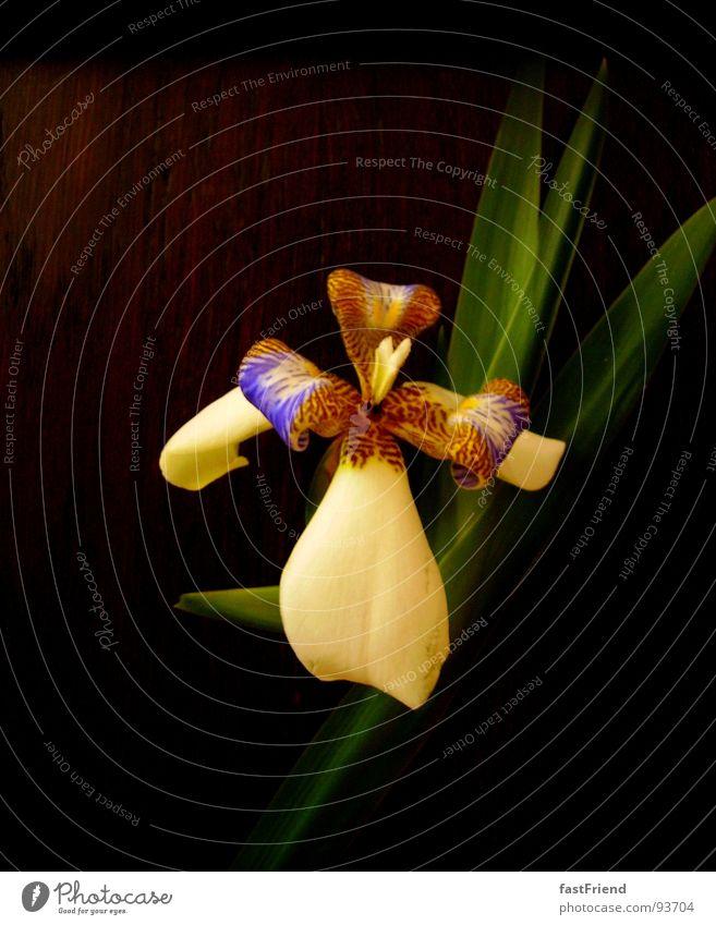 Schattenleuchte schön Blume grün Pflanze dunkel Blüte Frühling Wachstum violett einzigartig Blühend Lilien Blütenblatt entfalten Reifezeit