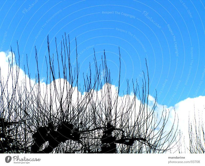 Platanen und Wolkenberge Blauer Himmel Platanenallee Baumaustriebe