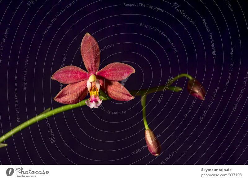 Phalaenopsis Orchidee elegant exotisch Freizeit & Hobby Häusliches Leben Garten Dekoration & Verzierung Studium Student Gartenarbeit Pflanze Baum Blüte