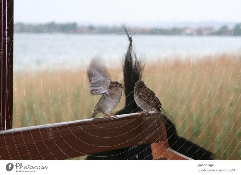 Warten auf die Sonne Himmel Ferien & Urlaub & Reisen Wolken Freiheit See Regen Vogel warten Tierpaar paarweise Italien Spatz schlechtes Wetter Gardasee
