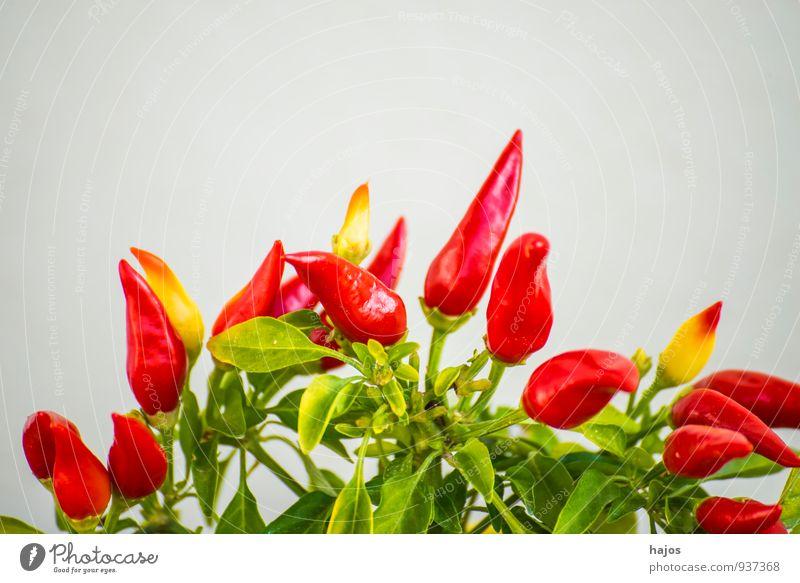 Chili an der Pflanze Lebensmittel Gemüse Frucht Garten Blatt Wachstum frisch klein rot Chilli Paprika Mini reif scharf Würzig Nutzpflanze Farbfoto Nahaufnahme