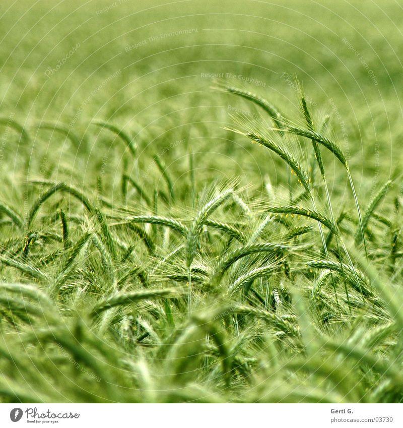 pornfeld Feld Kornfeld Zerealien Körnerbrot ruhig durcheinander grün grasgrün Ähren Landwirtschaft Ackerbau Gras Halm Gerste Roggen frisch fruchtbar field