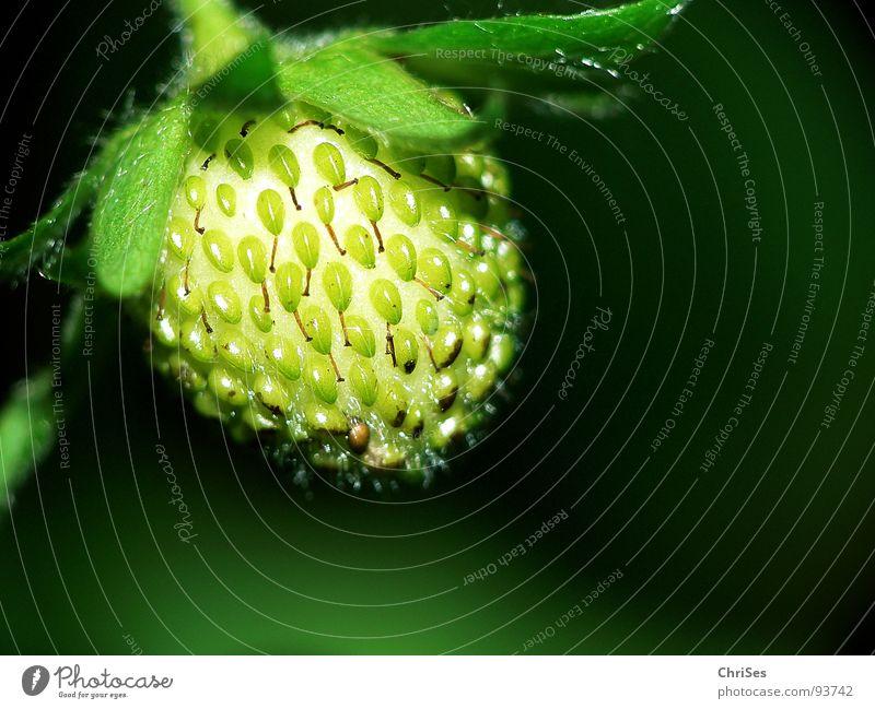 Warten auf rot grün Pflanze Frühling Geschmackssinn fruchtig unreif Nordwalde Makroaufnahme Nahaufnahme Erdbeeren Frucht Ernährung Garten