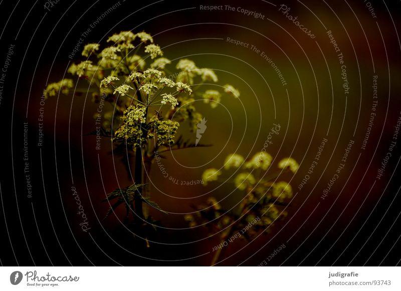Wiese Gewöhnliche Schafgarbe Wiesenkerbel Gefleckter Schierling Blüte Blume Pflanze Stengel Doldenblütler Bedecktsamer weiß braun schwarz Sommer Umwelt Wachstum