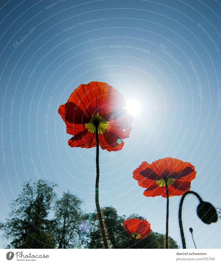 Klatschmohn Natur Himmel Sonne Blume blau rot Sommer Blüte Frühling Perspektive Mohn Schönes Wetter Blütenknospen zyan
