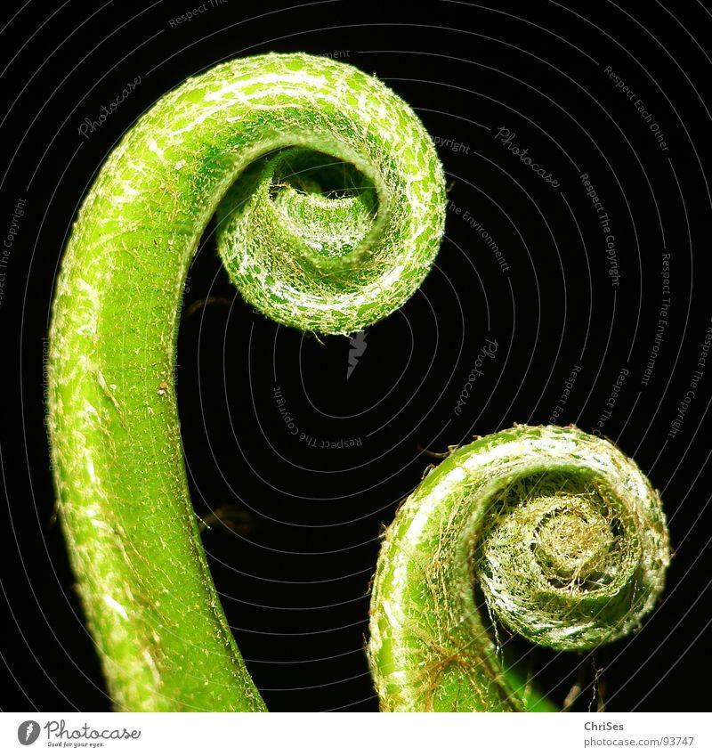Aufgerollt 01 Farn Rolle rollen Frühling grün schwarz Pflanze Blume Botanik Nordwalde Makroaufnahme Nahaufnahme Garten Park Echte Farne Blütenknospen ChriSes