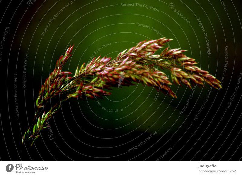 Gras Licht grün Stengel Halm Ähren glänzend schön weich Rauschen Wiese zart beweglich sensibel federartig Pflanze Farbe Sommer Pollen rispe rispen flimmer Weide