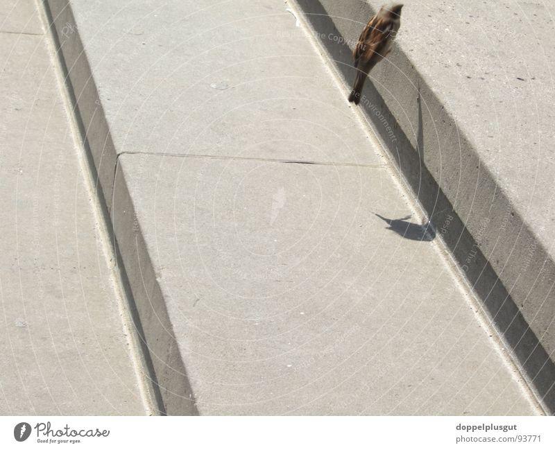 Treppenflug Vogel springen diagonal Gendarmenmarkt grau Drossel Schatten Luftverkehr fliegen Bewegung frei Stein Freude Stadt