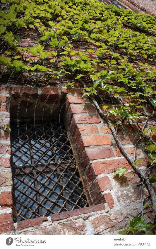 Garten-Gebäudeintegration durch Komplettbewuchs Blatt Pflanze Naturwuchs Mauerpflanze Fenster Gitter Backstein historisch schön bewachsen Ranke Märchen Festung