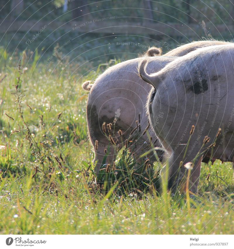 Bio-Schinken... Bioprodukte Umwelt Natur Landschaft Pflanze Tier Herbst Schönes Wetter Gras Wildpflanze Wiese Nutztier Schwein 3 Tiergruppe stehen