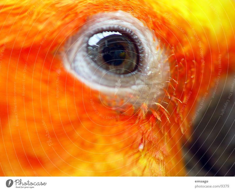 Ich sehe dich Papageienvogel gelb Makroaufnahme Auge orange Farbe Feder