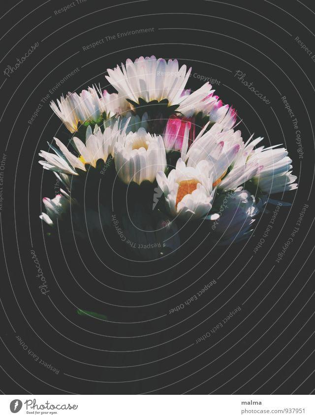 Gänseblümchenstrauß Natur Pflanze Sommer Blume Liebe Blüte Frühling träumen Blumenstrauß