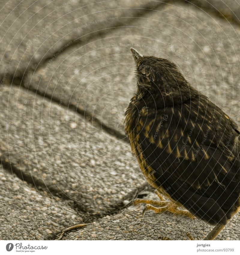 Leichte Beute Vogel Küken Amsel Drossel Jungvogel Garten bird squab chick fledgling blackbird garden backyard prey cat food