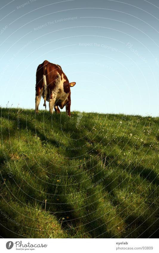 ...kannst......(Bewegungsstudie 01:00) Kuh Rind Vieh braun Deich Gras Wiese frisch Ernährung Fressen hochwürgen Blick Schwanz Schnauze Milchkuh Euter